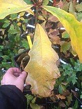 Samen Paket: Heritage Oak össling Medium 1 Jahr