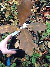 Samen Paket: Mapleleaf Oak Tree Pflanzgut 1 Jahr