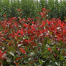 Samen Paket: Photinia X fraseri Red Evergreen
