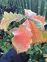 Samen Paket: r Oak Tree össling 1 Jahr alt.