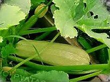Samen Squash Zucchini Kustovoy Organically Russisch Erbstück Gemüse Grown