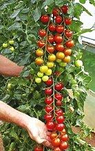 Samen Tomate Koralik esculentum, Mühle