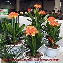 Samen Von Garten Flowersclivia Samen, Topf Bonsai