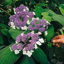 Samthortensie 'Macrophylla'