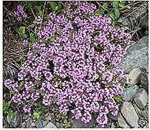 Sand-Thymian - Thymus serpyllum - 30000 Samen