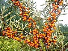 Sanddorn Busch-Baum Friesdorfer Orange leicht