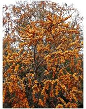 Sanddorn Leikora Busch , weiblich, 1 Pflanze