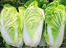 SANHOC 1: 4270 Samen Chinakohl Thai Gemüsegarten