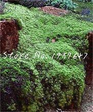 SANHOC 100 Stück Creeping Thyme Bonsai Flower