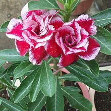 SANHOC 2pcs / Bag Wüstenrose Pflanze Blume