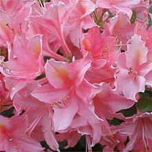 SANHOC Samen-Paket: Azalea Hybrid Madame Jolie -