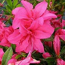 SANHOC Samen-Paket: Azalee Rosa King - in 9cm