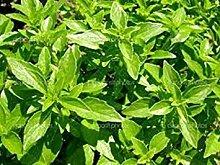 SANHOC Samen-Paket: Basilikum- Clove- Ocimum