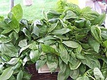 SANHOC Samen-Paket: Basilikum, Kalk, cullinary,
