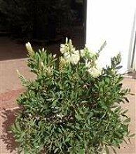 SANHOC Samen-Paket: Callistemon citrinus Anzac -