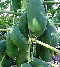 SANHOC Samen-Paket: Callistemon rigidus -