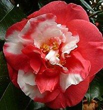 SANHOC Samen-Paket: Camellia Naaki - in 9cm PotSEED