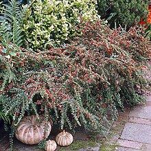 SANHOC Samen-Paket: Cotoneaster horizontalis - 2
