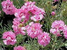 SANHOC Samen-Paket: Dianthus pulmarius Maggie -