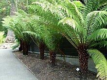 SANHOC Samen-Paket: Dicksonia antarctica -, in 9cm