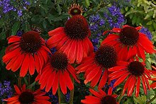 SANHOC Samen-Paket: Echinacea purpurea -