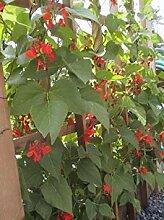 SANHOC Samen-Paket: Frische Bohnen-Samen