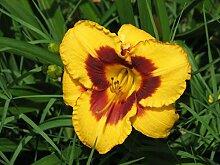 SANHOC Samen-Paket: Hemerocallis - Day Lily, in