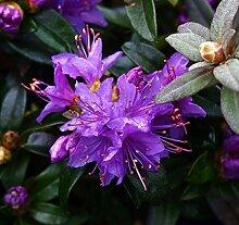 SANHOC Samen-Paket: Rhododendron Gristede -