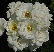 SANHOC Samen-Paket: Rosa Bodendecker-Rose