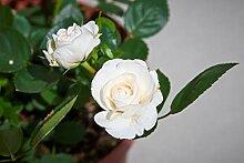 SANHOC Samen-Paket: Rosa Hof Eisa - New Rose - in