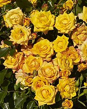 SANHOC Samen-Paket: Rosa Hof Redova - New Rose -