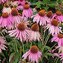 SANHOC Samen-Paket: Samen - Echinacea purpurea -