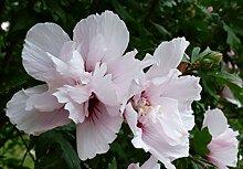 SANHOC Samen-Paket: syriacus China Chiffon - Rose,