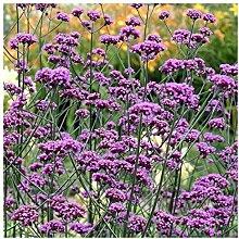 SANHOC Samen-Paket: Verbena bonariensis - Vervain