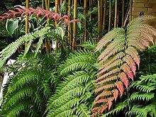 SANHOC Samen-Paket: Wardia unigemmata - Jewel