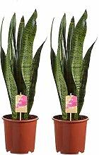 Sansevieria Zeylanica | Pflanze grün |