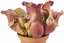 Sarracenia Purpurea Venosa rote XL Schlauchpflanze - aufregende und besondere fleischfressende Pflanze