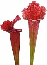 Sarracenia X Soper - blühfähige, große