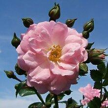 Satina® ADR Rose Bodendeckerrose