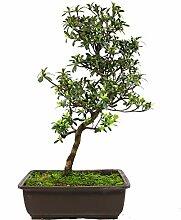 Satsuki-Azalee, Rhododendron indicum, 19 Jahre,