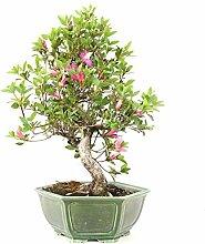 Satsuki-Azalee, Rhododendron indicum, 21 Jahre,