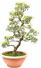 Satsuki-Azalee, Rhododendron indicum, 23 Jahre,