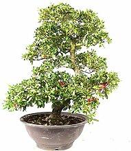 Satsuki-Azalee, Rhododendron indicum, 27 Jahre,