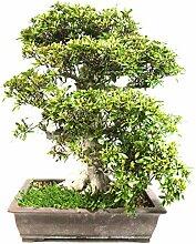 Satsuki-Azalee, Rhododendron indicum, 30 Jahre,