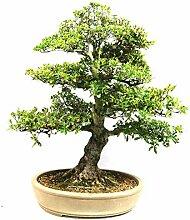 Satsuki-Azalee, Rhododendron indicum, 31 Jahre,