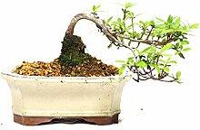 Satsuki-Azalee, Rhododendron indicum, 8 Jahre,