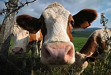 Scenolia Wandbild Oh LA Vache 3x2,70 m Deko und