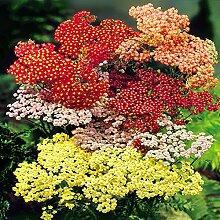 Schafgarbe rot/rosa/gold - 9 pflanzen