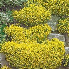 Scharfer Mauerpfeffer - Sedum acre - gelb blühende Steingartenstaude im 9 cm Topf, frisch aus der Gärtnerei - Pflanzen-Kölle Gartenstaude