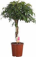 Schefflera Compacta | Pflanze grün |